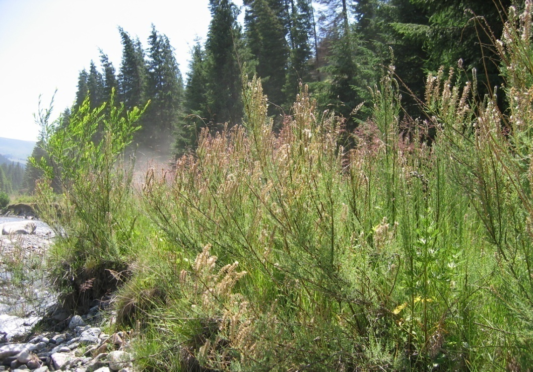 Nuta and Niculescu, 2019. Phytosociology of a Willow Community with False Tamarisk from the Lotru Valley, Romanian Carpathians